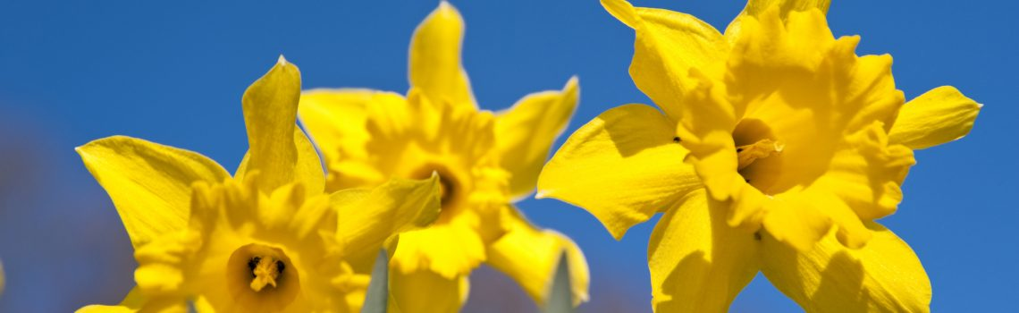 Daffodils in April with blue Sky
